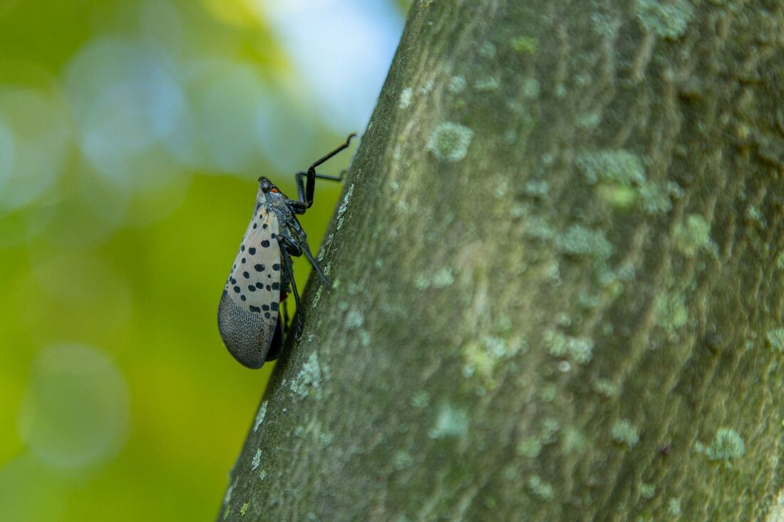 Control spotted lanternfly
